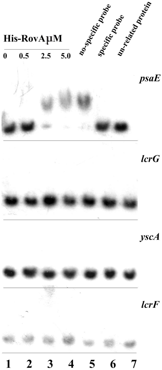 Ability of RovA to bind to promoters of lcrF and lcrG of T3SS. The upstream regions of lcrG, yscA, lcrF and psaE were amplified by PCR and used as target DNA probes in EMSA. The [γ-32P]-labeled target DNA probes were incubated with or without increasing amounts of purified His-RovA protein (lanes 1–4). Three controls were included in each EMSA experiment as indicated: 1) non-specific probe competitor (unlabeled DNA probe containing promoter of a gene that was shown to be not affected by rovA mutation); 2) specific probe competitor (unlabeled DNA probe containing promoter region of the investigated gene); and 3) unrelated proteins (rabbit anti-F1-protein polyclonal antibody).