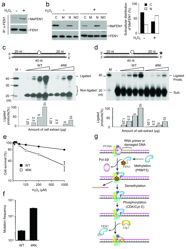 Methylation of FEN1 is induced by H 2 O 2 and important for DNA repair H 2 O 2 treatment induces FEN1 methylation ( a ) and drives FEN1 to the nucleus from the cytoplasm ( b ). ( c-d ) LP-BER assay using cell extracts. Tetrahydrofuran-containing substrates (THF, top panel, circle), were incubated with indicated amounts of cell extract, followed by autoradiography (middle panel) and quantification (bottom panel). Unlabeled substrate and hot dCTP were used in ( c ) while nicked substrate with 3′-end label on the TFH-containing oligo and cold dNTP mixture were used in ( d ). ( e ) 4RK cells are sensitive to H 2 O 2 stress. HeLa cells (WT or 4RK) were treated (1 h) at indicated concentrations and cellular sensitivity was determined by growth inhibition experiments; mean ± s.d., n=4. ( f ) Spontaneous mutation frequency was evaluated with an Hprt mutant assay. ( g ) Model for FEN1 dynamic interaction with PCNA and DNA substrates regulated by FEN1 methylation and phosphorylation. Upon formation of flap structure in Okazaki fragment mutation or LP-BER, methylated FEN1 is recruited to the replication fork by interacting with PCNA, following the dissociation of Pol δ/β. Methylation of FEN1 ensures its interaction with and stimulation by PCNA to remove the flap structure. After DNA flap cleavage, FEN1 undergoes de-methylation and subsequent phosphorylation by cell cycle-dependent kinases, leading to disruption of the FEN1/PCNA interaction and dissociation of the nuclease from DNA substrates. Lig I is then recruited by interaction with PCNA and seals the nicks between two DNA fragments. For the full image, see Supplementary Figure 12 .