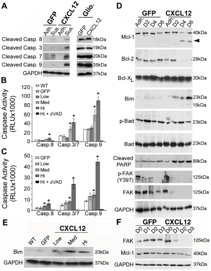 Constitutive CXCL12 expression induces anoikis through an intrinsic apoptotic mechanism. (A) CXCL12 and GFP HT29 cells were grown for 4-days as a suspension on poly-HEMA [10 mg/ml]-treated plates (Sus.) and whole cell lysates collected and compared to cells grown as an adherent monolayer (Adh.). Active cleaved <t>caspase-8,</t> -3, -7, and -9 indicated the predominant activation of an intrinsic apoptotic pathway in CXCL12 cells relative to control. Gliotoxin [2 µg/ml] confirmed intact apoptotic machinery in both cell lines. (B,C) Luminescence-based caspase activity assays were used to examine levels of both initiator caspases-8 and -9 and executioner caspases-3/7 after 4-days on poly-HEMA. Clonal HT29 (B) and HCT116 (C) cell lines expressing variable levels of CXCL12 (Hi, Med, Low) indicated a dose dependent effect of caspase activity which was inhibited with addition of zVAD. Values are mean ± SD of 3 independent experiments completed in triplicate. (D) GFP and CXCL12 HT29 cells were cultured on poly-HEMA-treated plates and lysates collected over time. Immunoblot analysis revealed a decrease in Mcl-1 and Bcl-2 levels and an increase in Bim in CXCL12-expressing cells. Arrowhead indicates a lower molecular weight protein consistent with an Mcl-1 degradation product. (E) HT29 cells expressing variable levels of CXCL12 exhibit increased Bim expression after a 4-day culture on poly-HEMA. (F) Immunoblot analysis of adherent HT29 cells demonstrate the temporal loss of FAK activation precedes decreased Mcl-1 levels in CXCL12-expressing cells cultured as an adherent monolayer on tissue culture plastic. Data are representative of three independent experiments. * indicates statistically significant differences in caspase activity between GFP and CXCL12-expressing cells ( P ≤0.05).
