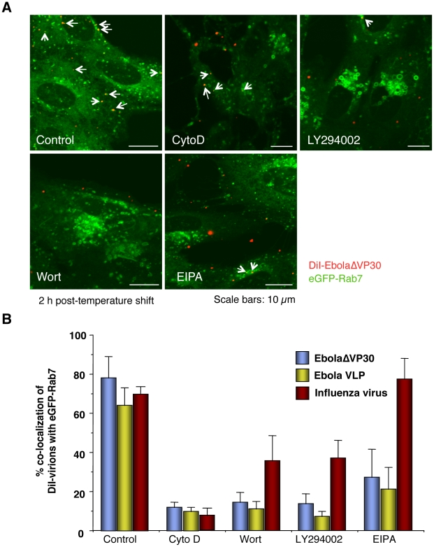 Effect of macropinocytosis inhibitors on the co-localization of DiI-labeled viral particles with Rab7-positive vesicles. Vero cells expressing eGFP-Rab7 were pretreated with cytochalasin D (CytoD), wortmannin (Wort), LY294002, or EIPA for 30 min at 37°C as described in the Materials and Methods . DiI-EbolaΔVP30 virions, DiI-Ebola VLPs and DiI-influenza virus were adsorbed to the cells for 30 min on ice. The cells were then incubated at 37°C in the presence of inhibitors for 2 h. As a control, DMSO-treated cells were incubated with labeled EBOV particles. Representative images of the co-localization of DiI-EbolaΔVP30 virions with eGFP-Rab7 acquired 2 h after the temperature shift are shown (A). DiI-labeled EbolaΔVP30 virions that co-localize with eGFP-Rab7-positive vesicles are indicated by arrows. Scale bars, 10 µm. (B) shows a graphic representation of the data. The number of DiI-labeled EbolaΔVP30 virions (blue bars), Ebola VLPs (yellow bars) and influenza virions (red bars) co-localized with eGFP-Rab7-positive vesicles was measured in 10 individual cells and the percentage of co-localization in the total DiI-virions is shown for each time point. Each experiment was carried out in triplicate and the results are presented as the mean ± SD.