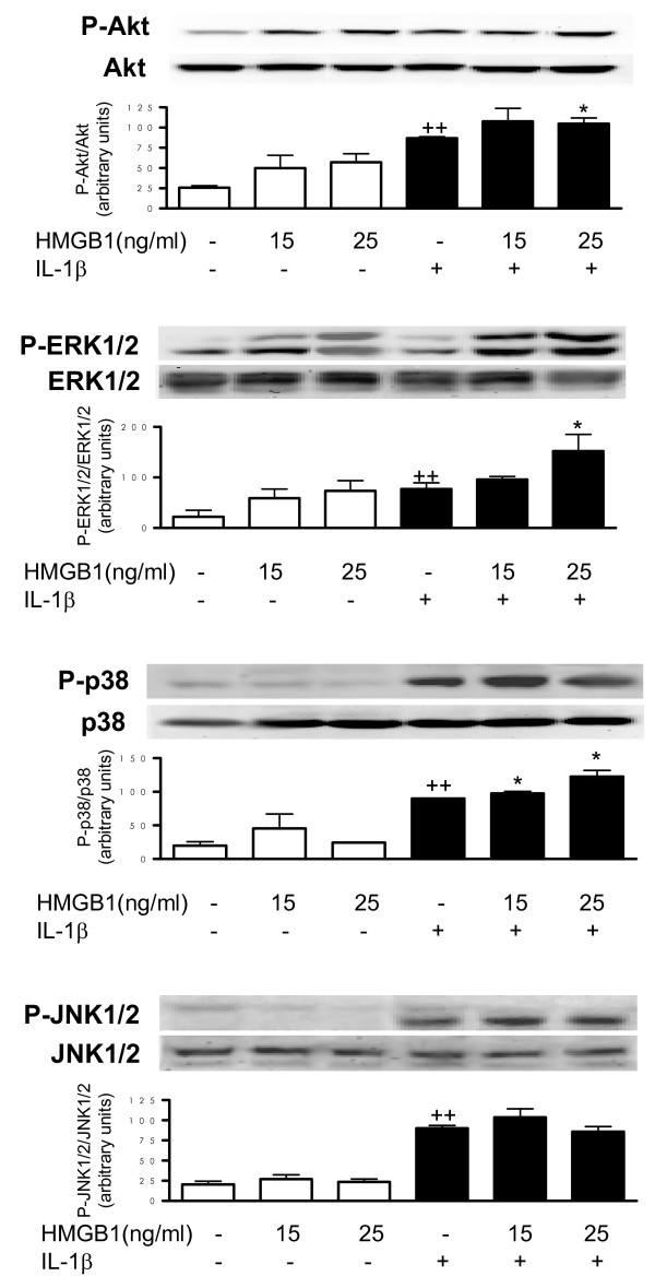 Effect of HMGB1 and IL-1β on Akt and MAPK phosphorylation . Cells were stimulated with IL-1b (10 ng/ml) for five minutes in the presence or absence of high mobility group box 1 (HMGB1) at 15 and 25 ng/ml. Protein level was determined in cell lysates by western blotting by using specific antibodies against phosphorylated or total proteins. Relative expression of phosphorylated and total protein bands was calculated after densitometric analysis. Data are expressed as mean ± standard error of the mean (samples from three patients). ++ P
