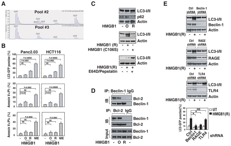 """Provision of exogenous reduced HMGB1 increases autophagy in cancer cells (A) Relative amounts of oxidized Cys106 (as Cys sulfonic acid) in Lilly Pool #2 and #3. <t>MALDI-TOF</t> Mass Spectrum of tryptic fragments of Lilly Pool #2 (top) and Pool #3 (bottom). The Cys106 containing fragment is amino acids 97–112. The free sulfhydryl (-SH) of total reducible cysteine is at a mass of 1944.9 Da. The monoxide is faintly seen at a mass of 1960.9 Da. The di- and tri- oxides are at masses of 1976.9 Da and 1992.9 Da, respectively. The peak at 1962.9 Da is the free sulfhydryl of the 13–28 fragments, used as an internal standard to verify the DTT reduction went to completion. (B) Reduced HMGB1 protein induces autophagy and oxidized HMGB1 mildly induces apoptosis. Panc2.03 and HCT116 cancer cells were treated with oxidized HMGB1 (""""O"""", 10 μg/ml) or reduced HMGB1 (""""R"""", 10 μg/ml) for 24 h, and then assayed for apoptosis by FACS using Annexin V/PI stain and autophagy by quantification of the percentage of cells with GFP-LC3 dots as described in methods. (C) Western analysis of LC3 processing in the presence or absence of lysosomal protease inhibitors pepstatin A (10 μg/ml) and E64D (10 μg/ml) and degradation of p62 by autophagy after HMGB1 or HMGB1 C106S mutant treatment. (D) Reduced HMGB1 protein regulates Beclin1/Bcl-2 complex formation in autophagy. Panc2.03 cells were treated with oxidized HMGB1 (""""O"""", 10 μg/ml) or reduced HMGB1 (""""R"""", 10 μg/ml), for 6 h, then cell lysates were prepared for IP with anti-Beclin1/-Bcl-2 or IgG. The resulting immune complexes and inputs were analyzed by western blotting as indicated. Representative western blotting analysis of protein levels is presented. (E) RAGE/Beclin1 but not TLR4 is required for HMGB1 mediated autophagy. Cells were transfected with the indicated shRNA for 48 h and then were treated with reduced HMGB1 (""""R"""", 10 μg/ml) for 24 h. Representative western blotting analysis of protein levels is presented. In parallel, autophagy was assay"""