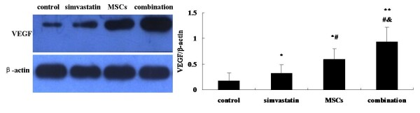Effect of simvastatin and bone marrow-derived MSCs on the expression of VEGF in ischemic limb . The levels of VEGF in ischemic limb 21 days after surgery is measured by Western blot. β-actin was used as an invariant control. * p