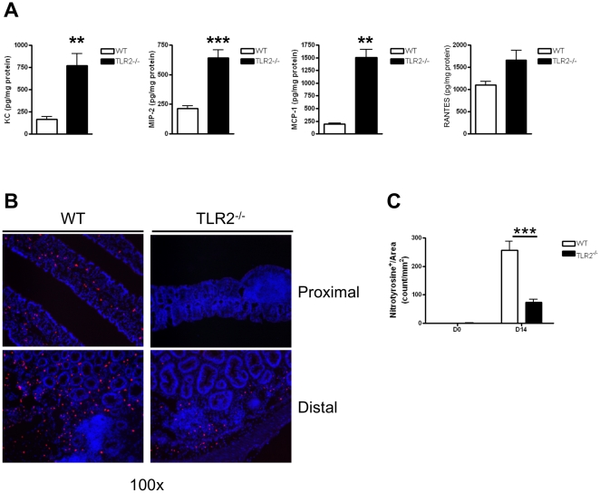 Colonic tissue from TLR2 −/− mice recruit inflammatory cells that have reduced NO production and fail to mount an adequate defense against tumor growth in early CAC. (A) Chemokines concentrations quantified by ELISA in colon homogenates in WT and TLR2 −/− mice at day 14 of AOM-DSS treatment were measured by ELISA. KC (n = 6 WT, n = 9 TLR2−/−), <t>MIP-2</t> (n = 6 WT, n = 9 TLR2−/−), MCP-1 (n = 6 WT, n = 4 TLR2−/−), <t>RANTES</t> (n = 4 WT, n = 10 TLR2−/−). (B) Immunofluorescent staining for nitrotyrosine in proximal (top panels) and distal (bottom panels) colon section of WT (left panels) and TLR2 −/− (right panels) mice treated for 14 days with the AOM-DSS regimen. Original magnification 100x. (C) Quantification of nitrotyrosine positive cells normalized by area (mm 2 ) from greater than five focus fields in at least four slides per animal (n = 5 WT and n = 5 TLR2 −/− ).