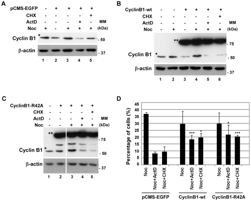 Overexpression of Cyclin B1 protein rescues the mitotic phenotype. HEK293 cells were transfected with the wild-type and the non-degradable forms of Cyclin B1 (CyclinB1-wt and CyclinB1-R42A, respectively); pCMS-EGFP was used as transfection control. A, B and C) Analysis of Cyclin B1 endogenous (indicated with one asterisk) and exogenous (indicated with double asterisk) protein levels by western blotting in cells transfected with pCMS-EGFP (A), CyclinB1-wt (B) and CyclinB1-R42A (C). After transfection, HEK293 cells were incubated with nocodazole (noc) for 14 h and treated with actinomycin D (ActD; 8 µM) or cycloheximide (CHX; 35.5 µM) for 6 h; β-actin was used as loading control. All lanes presented in C are from the same experiment. D) Mitotic index of nocodazole (Noc) treated cells with or without CHX or ActD for 6 h. Data presented as mean ± S.D. from three independent experiments; *** p