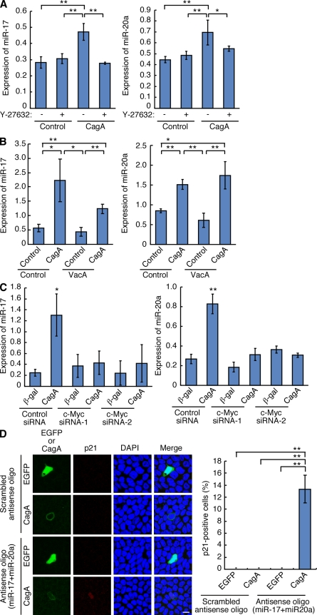 Induction of p21-targeting microRNAs upon expression of CagA in polarized epithelial cells. (A) Polarized MDCK cells were infected with adenovirus transducing CagA or β-galactosidase (control). At 6 h after infection, cells were treated with or without Y-27632 at a final concentration of 50 µM and were cultured for an additional 18 h. Expression of miR-17 (left) or miR-20a (right) was quantified by real-time PCR. Error bars indicate mean ± SD. n = 3 for miR-17, n = 4 for miR-20a. **, P