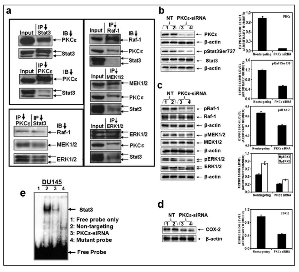 PKCε integrates with MAPK cascade to phosphorylate Stat3Ser727 a : Tissue extracts of prostate cancer from TRAMP (Transgenic Adenocarcinoma of Mouse Prostate) mice (50 µg protein) were used for reciprocal IP experiments with antibodies specific to PKCε, Stat3, Raf-1, MEK1/2, and ERK1/2. The immunoprecipitates were subjected to western blot analysis using the indicated antibodies. b, c and d : DU145 cells were transfected with non-targeting siRNA (Lanes 1 and 2) or PKCε specific siRNA (Lanes 3 and 4) (from Dharmacon Inc., Lafayette, CO), and whole cell lysates were prepared as described before (3). The lysates (25 µg protein) were immunoblotted and indicated protein expression levels were detected with the appropriate antibodies. β-actin was used as a control for gel loading variations. Protein quantification (normalized to β-actin) was performed as described in Materials and Methods. Each value is the mean ± S.E. of three independent experiments. e : EMSA . DU145 total cells were suspended in buffer A [10 mmol/L HEPES (pH 7.9), 1.5 mmol/L MagCl 2 , 10 mmol/L KCl, 0.5 mmol/L DTT, 0.2 mmol/L PMSF]. After 15 min of incubation on ice, the cells were pelleted and resuspended in buffer B [20 mmol/L HEPES (pH 7.9), 20 mmol/L NaF, 1.5 mmol/L MgCl 2 , 1 mmol/L Na 3 VO 4 , 1 mmol/L EDTA, 1 mmol/L EGTA, 1 mmol/L DTT, 0.5 mmol/L PMSF, 420 mmol/L NaCl, 20% glycerol, 1 µg/mL leupeptin, 1 µg/mL aprotinin]. The samples were then centrifuged and the clear supernatant was used for EMSA as described in Materials and Methods. Lane 1, free probe only, Lane 2, nontargeting; lane 3, PKCε siRNA and Lane 4, mutant probe.