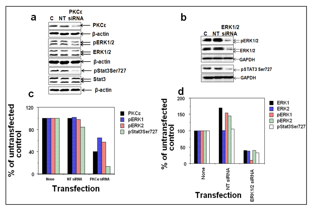 PKCε integrates with ERK1/2 to phosphorylate Stat3Ser727 DU145 cells were untransfected (lane 1), or transfected with nontargeting ERK1/2 siRNA (lane 2), or ERK1/2 specific siRNA (lane 3), or nontargeting PKCε siRNA (lane 4), or PKCε-specific siRNA (lane 5) (ERK1/2 specific siRNA from Santa Cruz Biotechnology, Santa Cruz, CA and PKCε-specific siRNA from Dharmacon Inc., Lafayette, CO), for 48hr and whole-cell lysates were prepared as described in Materials and Methods. a : The protein extracts (25 µg protein) were immunoblotted and indicated protein expression levels were detected with the appropriate antibodies. β-actin was used as a control for gel loading variations. b : The quantification of proteins (normalized to β-actin) was done as described in Materials and Methods. i : % of control not treated with PKCε-siRNA, ii : % of control not treated with ERK1/2-siRNA.