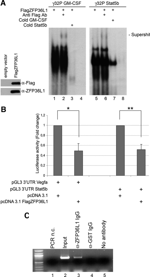 ZFP36L1 binding to AU-rich-elements (ARE) in the 3′UTR of Stat5b mRNA confers instability to mRNAs containing such elements. (A) Left, Western blot demonstrating identity and integrity of in vitro–translated FlagZFP36L1 protein: immunoblotting was performed with anti-Flag or anti-ZFP36L1 antibody as indicated. Right, RNA mobility shift assay performed by incubating in vitro–translated FlagZFP36L1 protein with labeled RNA probes corresponding to ARE in the 3′UTR of GM-CSF mRNA (used as a positive control, lanes 1–4) or to ARE in the 3′UTR of Stat5b mRNA (lanes 5–8). Probe sequences are: GM-CSF: 5′-UAUUUAUUUAUUUAUUUAUUUA-3′; Stat5b: 5′-AUAGUAAAUUAUUUAUUGGAAGAU-3′. Supershifts were obtained by an additional incubation with anti-Flag Ab (lanes 2 and 6). Competition experiments were performed with cold Stat5b probe (lane 3) or with cold GM-CSF probe (lane 7). Lanes 4 and 8 represent labeled probes incubated with an in vitro translation reaction mix performed on empty vector. (B) Luciferase activity assay performed in HEK293 cells transfected with pcDNA3.1 empty expression vector or with pcDNA3.1 overexpressing FlagZFP36L1 (20 ng) together with pGL3 reporter construct encoding for a luciferase gene fused to the 3′UTR of Vegfa (positive control) or to the 3′UTR of Stat5b. Luciferase activity is represented in terms of fold change; error bars, SEM calculated on a set of five independent experiments. (C) Ribonucleoprotein complexes immunoprecipitation assay demonstrating that binding of ZFP36L1 protein to the ARE in the 3′UTR of Stat5b mRNA occurs in vivo: ribonucleoprotein complexes were immunoprecipitated from lysates of HEK293 cells transfected with pcDNA3.1 ZFP36L1 and pGL3 3′UTR Stat5b vectors, RNA was extracted, reverse-transcribed, and amplified by PCR using primers specific for Stat5b 3′UTR fused to the luciferase gene. Lanes 1 and 2, negative and positive control respectively, i.e., PCR amplification performed on no template or on RNA extracted from cell lysates bef