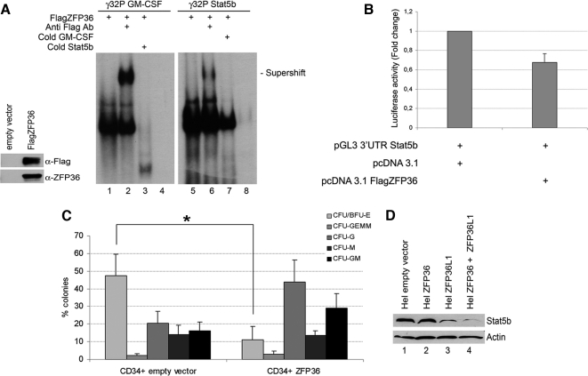 ZFP36 behaves similarly to ZFP36L1 in binding to and destabilizing mRNAs spanning Stat5b 3′UTR and in inhibiting erythroid differentiation of CD34+ HSCs. (A) Left, Western blot demonstrating identity and integrity of in vitro–translated FlagZFP36 protein: immunoblotting was performed with anti-Flag or anti-ZFP36 antibody as indicated. Right, RNA mobility shift assay performed by incubating in vitro–translated FlagZFP36 protein with labeled RNA probes spanning the ARE in the 3′UTR of GM-CSF mRNA (used as a positive control, lanes 1–4) or the ARE in the 3′UTR of Stat5b mRNA (lanes 5–8). Supershifts were obtained by an additional incubation with anti-Flag Ab (lanes 2 and 6). Competition experiments were performed with cold Stat5b probe (lane 3) or with cold GM-CSF probe (lane 7). Lanes 4 and 8 represent labeled probes incubated with an in vitro translation reaction mix performed on empty vector. (B) Luciferase activity assay performed in HEK293 cells transfected with pcDNA3.1 empty expression vector (left) or with pcDNA3.1 overexpressing FlagZFP36 (10 ng; right) together with pGL3 reporter construct encoding for a luciferase gene fused to the 3′UTR of Stat5b. Luciferase activity is represented in terms of fold change; error bars, SEM calculated on a set of five independent experiments. (C) Clonogenic assay performed on CD34+ HSCs transduced with empty vector (left) or overexpressing ZFP36 (right); error bars, SEM calculated on four independent experiments (*p