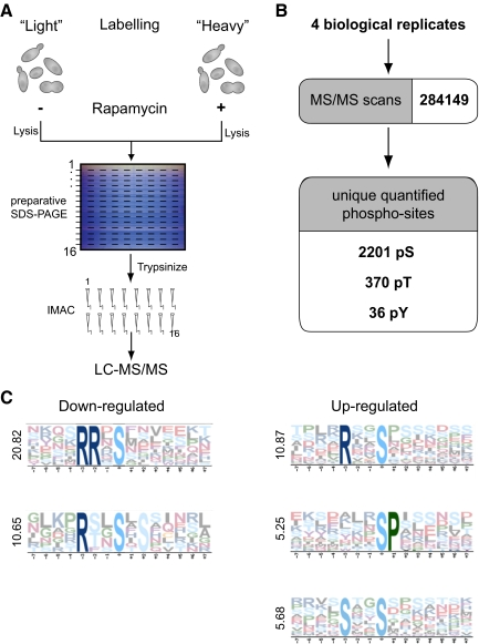 Quantitative analysis of the rapamycin-sensitive phosphoproteome by SILAC. (A) Schematic overview of the experimental approach for the identification of TORC1 regulated phosphorylation sites in S. cerevisiae . Two yeast cultures (strain YPJ2) were metabolically labeled with 12 C 6 - 14 N 2 -lysine/ 12 C 6 -arginine (light) or 13 C 6 - 15 N 2 -lysine/ 13 C 6 -arginine (heavy). The heavy culture was treated for 15 min with rapamycin. Extracts were mixed in a 1:1 ratio and separated by preparative SDS-PAGE. The gel was horizontally sliced into 16 sections and in-gel–digested, and phosphopeptides were IMAC-enriched and analyzed in an <t>LTQ-Orbitrap.</t> (B) Merged data from the four experiments revealed 972 phosphoproteins, corresponding to 2487 unique phosphopeptides and 2607 unique phosphosites. (C) Analysis by Motif-X of all regulated phosphopeptides.