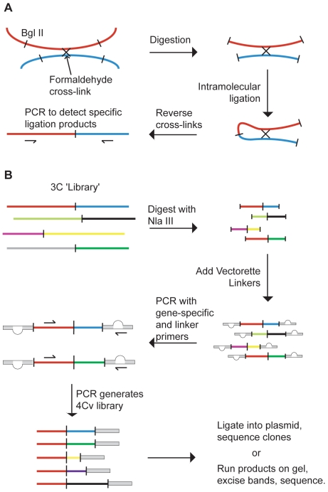 Schematic representations of Chromosome Conformation Capture (3C) and Complete-genome 3C by Vectorette amplification (4Cv). A: 3C - The physical proximity between two DNA elements in cells is converted into a direct juxtaposition, which is detected by PCR using sequence-specific primers. B: The library of genomic interactions is digested with a second enzyme (NlaIII), vectorette linkers are added and the subset of interactions involving a specific sequence (e.g. β-globin, red line) is amplified. The resulting 4Cv library is analysed by sequencing cloned products or bands excised from a gel.