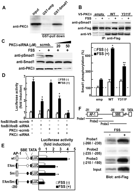 Mechanical stress-activated PKCδ phosphorylates BR-Smads, and phosphorylated BR-Smads interact with ΔFosB/JunD on IL-11 gene promoter. (A) GST-Smad1 fusion protein was mixed with Glutathione-Sepharose and incubated at 4C° for 1 h. The Sepharose beads were then washed and used for GST pull-down assay. mPOBs were lysed in lysis buffer and aliquots of the lysate were then incubated under constant agitation for 1 h at 4C° with GST-Smad1 fusion protein coupled to Glutathione-Sepharose. Complexes were then washed three times and bound proteins were eluted and separated on SDS-PAGE. PKCδ bound to GST-Smad1 fusion protein was detected by Western blot analysis using an anti-PKCδ antibody. (B) Wild-type or Y311F mutant PKCδ were transiently transfected into mPOBs, and cells were exposed to FSS for 30 min. Phosphorylation of exogenous Smad1 was analyzed by Western blot analysis using an anti-phospho Smad1 antibody (upper panel). Proteins from 4 wells were analyzed in each lane, and the experiments were repeated for 3 times with similar results. Results from a representative experiment were presented. In the lower panel, the amount of exogenous phospho-Smad1 was quantitated and expressed as a percentage of the amount of phospho-Smad1 in mPOBs transfected with an empty vector without FSS. The data were means ± S.E.M. for three experiments, and difference between FSS(−) and FSS(+) in each group was analyzed by Student's t test. *p