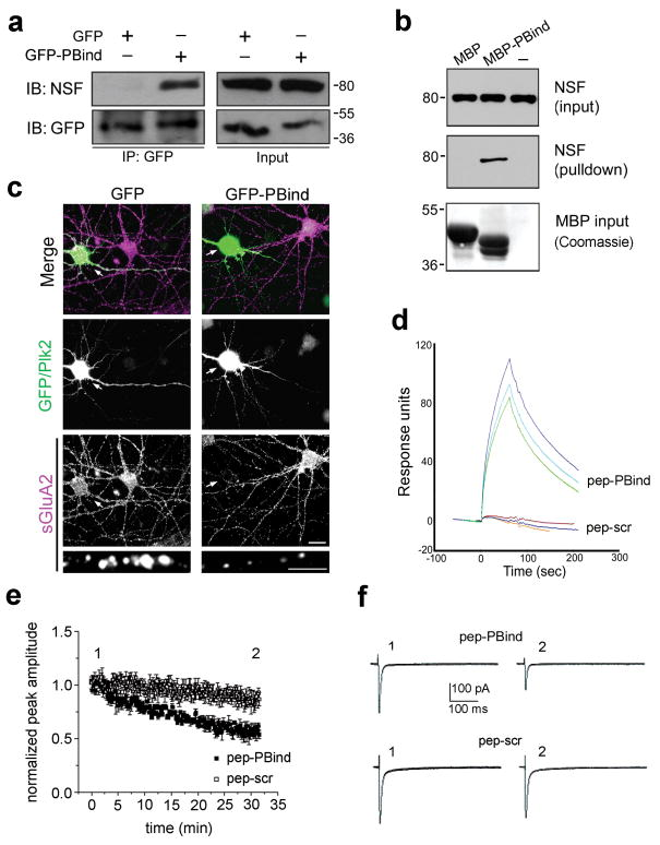 Plk2 binding NSF is sufficient for decreased surface GluA2 (a) Lysates of COS-7 cells expressing NSF and GFP or GFP-PBind were subjected to immunoprecipitation (IP) with GFP antibodies and immunoblotted (IB) as indicated. Input, 5% of lysate for IP. Full-length blots are presented in Supplementary Fig. 9 . (b) Pulldown of brain lysates with MBP or MBP-PBind and analyzed by IB for NSF and by Coomassie stain for MBP fusion proteins. Note MBP contains a 73aa polylinker C-terminal tail and therefore runs larger than MBP-PBind. (c) Cultured hippocampal neurons expressing GFP or GFP-PBind as indicated were immunostained for sGluA2 (bottom, violet) and GFP or Plk2 (middle, green). Arrows indicate transfected neurons. Colocalization appears white in merged images (top). Magnified views of representative dendrites at bottom. Scale bars, 10 μm (wide view), 5 μm (magnified). Surface GluA2 immunofluorescence intensities (in arbitrary units) were 82.8±7.3 for GFP, 18.6±3.3 for GFP-PBind; p=4.7×10 -10 ; N=15–20 neurons. (d) Pep-PBind or scrambled control peptide (pep-scr) were analyzed for direct binding to His 6 -NSF by surface plasmon resonance. Averages of peak values were 89.4±7.6 response units for pep-PBind; -1.3±1.1 for pep-scr (negative value due to slight rundown during the experiment); p=0.0003, N=3). (e) Normalized AMPAR EPSCs peak amplitude vs time (pep-PBind, N=9, point 1 vs. point 2: p=0.0001; pep-scr, N=6, point 1 vs. point 2: p=0.17). (f) Representative EPSCs from individual neurons recorded at indicated times in the peak amplitude vs. time plot in the presence of intracellular pep-PBind (top) or pep-scr (bottom).