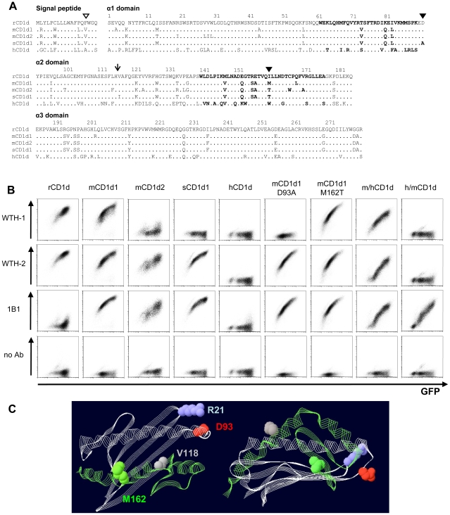 Epitope mapping of CD1d-specific mAbs. (A) Alignment of the amino acid sequences of the extracellular domains of the CD1d molecules used in this study. α-helical regions are illustrated in bold. The open triangle points out the localization of the rat CD1d allelism. Mutations in mouse CD1d1 are highlighted with closed triangles. The arrow indicates where mouse/human chimeras were joined. Numbers show rat CD1d amino acid positions. Accession numbers for the amino acid sequences can be found in GenBank: rCD1d ( Rattus norvegicus CD1d), BAA82323; mCD1d1 ( Mus musculus CD1d1), NP_031665; sCD1d1 ( Mus spretus CD1d1), ACM45455; hCD1d1 ( Homo sapiens CD1d), NP_001757. The mCD1d2 ( Mus musculus CD1d2) amino acidic sequence differs in one amino acid in the signal peptide (tryptophan, position −13) from the sequence published under the accession number: P11610. (B) Binding capacity of mAbs to different CD1d molecules. Raji cells were transduced with CD1d molecules using a retroviral expression system. Bicistronic EGFP in the CD1d expression vectors served as reporter gene. Cells were stained with unconjugated WTH-1 or WTH-2 mAbs followed by PE-labeled donkey anti-mouse IgG or PE-labeled 1B1 mAb and were analyzed by flow cytometry. All primary antibodies were used at a final concentration of 250 ng/ml. (C) Localization of relevant amino acids in the CD1d tertiary structure. The model depicts part of the co-crystal of the PBS25 glycolipid and mouse CD1d (PDB: 3GMP) and it was visualized using PDB Swiss Viewer Deep View v4.0 [52] ( http://www.expasy.org/spdbv/ ). The α1 and α2 domains are shown. Gray and green ribbon diagrams highlight the regions constituting the N- and C-terminal parts, respectively, of the chimeric molecules. Spheres visualize the amino acids discussed in the text: aspartic acid (D) 93 in red, methionine (M) 162 in green, valine (V) 118 in gray and arginine (R) 21 in blue.