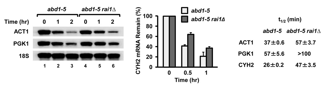 Rai1 preferentially hydrolyzes unmethylated 5' end capped <t>mRNA</t> in yeast cells Yeast strains harboring the temperature-sensitive ABD1 methyltransferase mutant allele, abd1 -5, or the abd1–5 rai1Δ double mutation were grown at the 37°C nonpermissive temperature for 45 min prior to transcriptional block with 5 µg/ml thiolutin. <t>RNA</t> was isolated from cells at the indicated time points following thiolutin addition and levels of RNA remaining determined by Northern blot analysis ( PGK1 and ACT1 ) or RT-qPCR ( CYH2 ). Half-lives (t 1/2 ) of the mRNAs were determined relative to the 18S rRNA and were derived from three independent experiments. The range of half-lives obtained are consistent with previously reported thiolutin-directed transcriptional arrest measurements 30 .