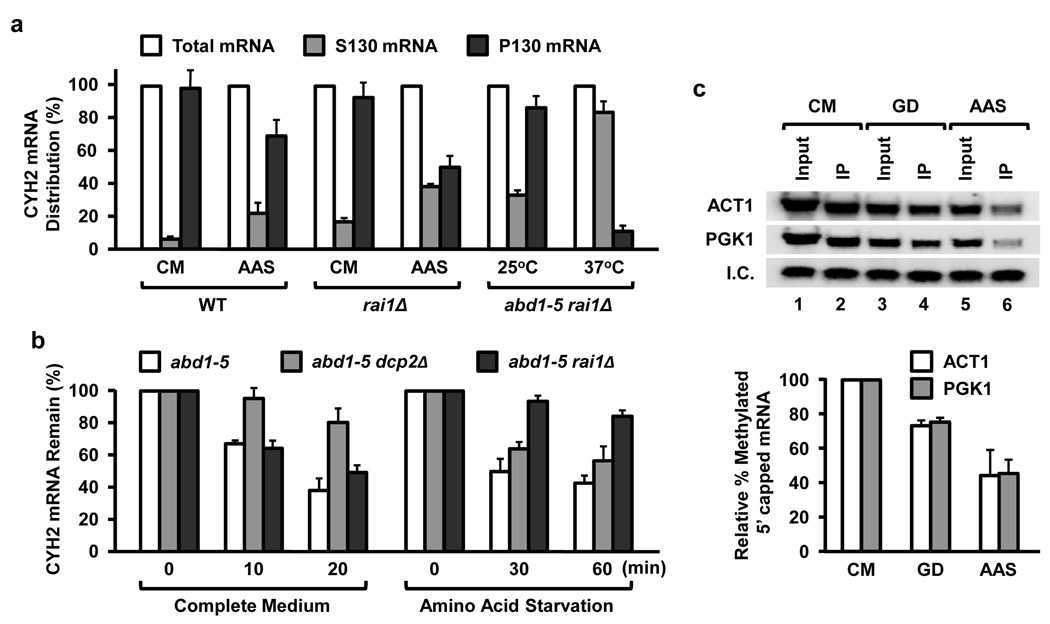 Aberrantly capped mRNA levels increase in cells exposed to nutrient starvation ( a ) Amino acid starvation shifts mRNAs into the soluble mRNP fraction. The mid-log phase yeast strains were shifted to the indicated medium and grown for 45 min prior to fractionation. RNA was isolated from polysome-containing fractions sedimenting at 130,000 × g (P130) and the supernatant (S130) fraction, which contained the soluble mRNP. Distribution of the CYH2 mRNA from each fraction was determined by quantitative RT-PCR. The abd1–5 rai1 Δ double mutant strain grown at the permissive 25°C (methylated capped mRNA) or non-permissive 37°C (unmethylated capped mRNA) were used as a positive control. Results of three independent experiments are presented with error bars denoting +/− SD. ( b ) Aberrantly capped mRNAs are minimally affected by the Dcp2 decapping enzyme. The indicated strains were grown in complete medium at 22°C to an OD 600 of 0.6 and subsequently cultured in the same medium or amino acid minus medium for 45 min followed by the addition of thiolutin. The levels of CYH2 mRNA were determined by quantitative RT-PCR as in (a) above. ( c ) Methylated capped RNA was immunopurified utilizing monoclonal anti-trimethylguanosine antibody column from cells grown at the denoted culture conditions for 45 min and were detected by Northern Blot analysis. Quantitations for the mRNA cap methylation were normalized to total input RNA and 32 P-labeled methylated capped pcP RNA internal control (I.C.) and derived from three independent experiments. The error bars represent +/− SD.
