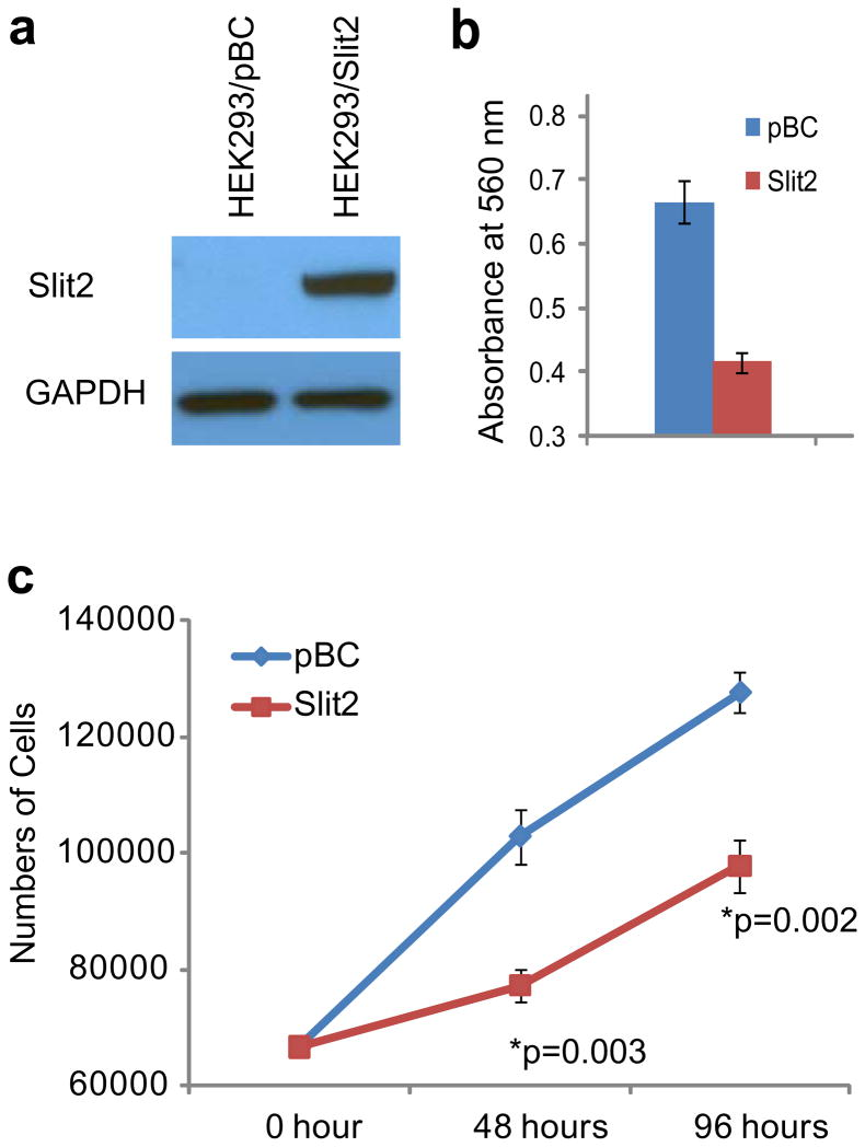 <t>SLIT2</t> inhibits prostate cancer cell invasion and proliferation ( a ) Immunoblot analysis of SLIT2 in HEK293/SLIT2 stable cells and the control HEK293/pBC cells. ( b ) SLIT2 overexperssion inhibits LNCaP cell invasion. LNCaP cells were incubated with conditioned medium from HEK293/SLIT2 or HEK293/pBC control cell for 48 hr and subjected to Boyden Chamber Invasion assay. ( c ) SLIT2 <t>overexpression</t> reduces LNCaP cell proliferation. Cell proliferation assay was performed in LNCaP cells incubated in conditioned medium from HEK293/SLIT2 or HEK293/pBC for 48 and 96 hours.