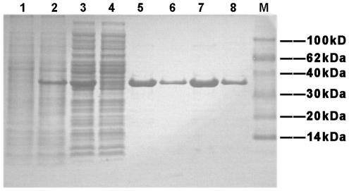 SDS-PAGE analysis for expression and affinity chromatography of the Rv0045c protein. Lane 1, culture pellet (uninduced); Lane 2, culture pellet (induced with 0.3 mM IPTG at 16°C); Lane 3, the supernatant of induced cells after sonication; Lane 4, fluid through Ni 2+ -affinity chromatography column; Lane 5 and 7: purified Rv0045c protein eluted by 20 mM Tris, 150 mM NaCl, 200 mM Imidazole, pH 7.5; Lane 6 and 8: purified Rv0045c protein eluted by 20 mM Tris, 150 mM NaCl, 500 mM Imidazole, pH 7.5; Lane M: molecular mass markers.