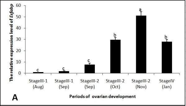 Ovarian Es-FABP expression was influenced by the period of reproductive activity, as determined by real-time qRT-PCR . Es-FABP expression, normalized to beta-actin, was quantified in mitten crab ovaries collected during the stages of rapid ovarian maturation: Stage III-1(Aug), Stage III-1(Sep), Stage III-2 (Sep), Stage III-2 (Oct), Stage III-2 (Nov), and Stage IV (Jan). Bars represent the triplicate mean ± S.E. from three individuals (n = 3). Bars with different letters differed significantly (P
