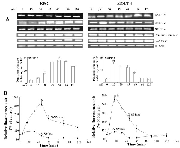 WithaD induces N-SMase activation . (A) RT-PCR analysis of N-SMases, ceramide synthase, and A-SMase. K562 and MOLT-4 cells were treated with WithaD (1.5 and 0.5 μM respectively) for 0-120 min. RNA was extracted from total cell lysate and RT-PCR was performed. The band intensity was measured. This is one representative of three independent experiments. *indicates statistically significant difference ( P