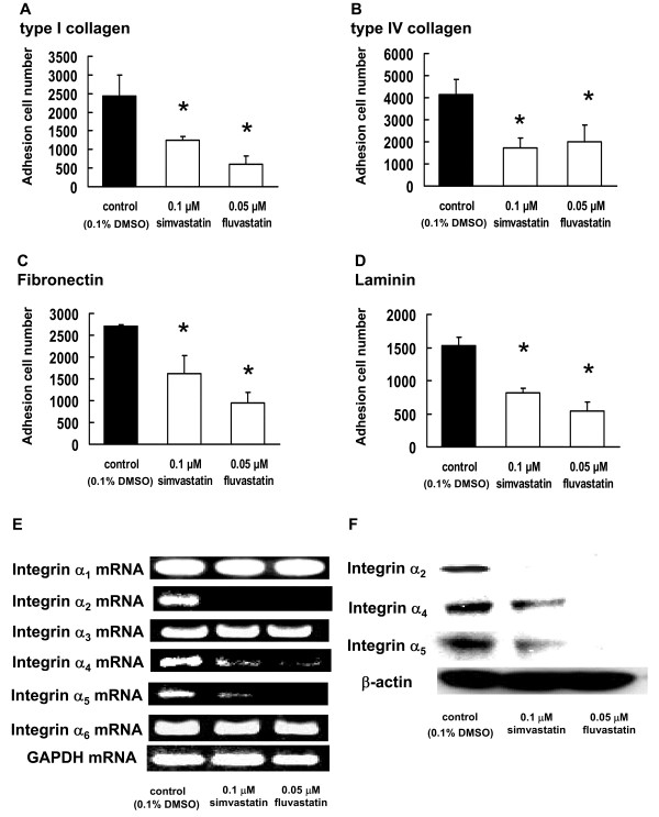 Effect of statins on B16BL6 cell adhesion to ECM components . B16BL6 cells, which had been treated with 0.05 μM fluvastatin or 0.1 μM simvastatin for 3 d, were incubated with (A) type I collagen-, (B) type IV collagen-, (C) fibronectin-, or (D) laminin-coated plates for 30 min at 37°C in an atmosphere containing 5% CO 2 . The results are representative of 5 independent experiments. (E) Image showing the results of RT-PCR analysis of integrins mRNA. B16BL6 cells were treated with 0.05 μM fluvastatin or 0.1 μM simvastatin. After 3 d, equal amounts of RNA were reverse-transcribed to generate cDNA, which was used for PCR analysis of integrins mRNA expression in B16BL6 cells. (E) Image showing western blot of the integrin α 2 , integrin α 4 , and integrin α 5 proteins. Whole-cell lysates were generated and immunoblotted with antibodies against integrin α 2 , integrin α 4 , integrin α 5 , and β-actin (internal standard).