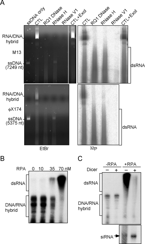 RPA promotes ssDNA-directed synthesis of dsRNA by QDE-1. (A) In vitro DdRP assay using circular ssDNA from bacteriophages M13 or φX174 as templates. The nature of the products was characterized by various nuclease treatments and native agarose gel (0.6%) electrophoresis. (B) In vitro DdRP assay using full-length recombinant QDE-1 with various concentrations of the RPA complex. The 175 nt ssDNA template was pre-incubated with RPA before adding QDE-1, and the products were resolved by 6% urea containing polyacrylamide gel. The DNA/RNA hybrid refers to the single-stranded, labeled RNA products of the denatured hybrids. The dsRNA species migrated at higher molecular weight positions in the denaturing gels due to their synthesis by back-priming initiation. (C) The QDE-1 RdRP products with 0 or 70 nM RPA were treated with recombinant Dicer and resolved in 6% (top) or 16% (bottom) urea-containing polyacrylamide gels. The DNA/RNA hybrid refers to the single-stranded, labeled RNA products of the denatured hybrids.