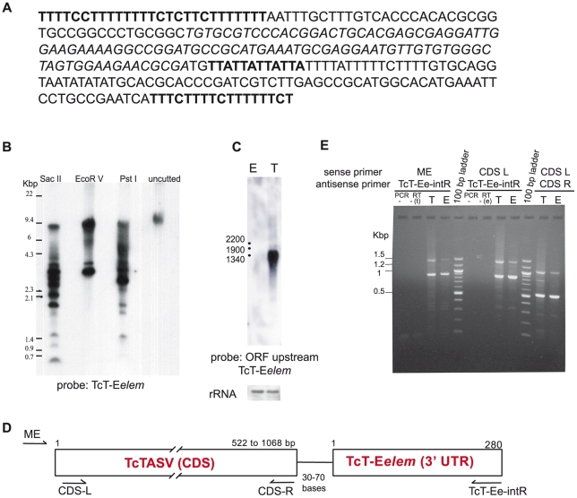 The TcT-E element (TcT-E elem ) is present in multiple copies in the T. cruzi genome and is associated with different coding regions. (A) Identification of an enriched 280-bp element in the TcT-E library. In silico screening of the TcT-E library using the FL-160-2 3′ UTR as bait depicted a large number of clones displaying homology with nucleotides 372–472. After analyzing a multiple sequence alignment of the identified TcT-E clones, a 280-bp consensus sequence with 3′ and 5′ polypyrimidine tracts (bold) and a variable number of TAA repeats (bold underlined) was obtained, and defined as TcT-Eelement (TcT-E elem ). (B) Analysis of TcT-E elem copy number. T. cruzi genomic DNA (CL-Brener strain) was digested with restriction enzymes having no internal site within the TcT-E elem , electrophoresed on TAE-agarose gel and transferred by standard procedures. A probe specific for the TcT-E elem was synthesized and labelled by PCR with 32 P. (C) The mRNA of the CDSs located upstream of the TcT-E are preferentially expressed in trypomastigotes. Northern blots probed with the complete ORF Tcruzi_1863-4-1211-93 ( http://TriTrypDB.org ). (D) The TcT-E elem is present 30–70 bp downstream of a stop codon in many coding sequences in T.cruzi . The consensus sequence of TcT-E elem was used as bait to search the T. cruzi database; WGSs with more than 80% identity to TcT-E elem and longer than 1000 bp were retrieved and analyzed. The schematic map of the relative position of TcT-E elem in relation to coding sequences in T. cruzi genome is shown. (E) Mature mRNA transcripts contain both the TcT-E elem and different CDSs. Total RNA from trypomastigotes (T) and epimastigotes (E) was purified and treated with RQ1 DNase. First strand cDNA was synthesized by RT using an oligo dT primer. PCR was performed using a 5′ primer specific for the T. cruzi miniexon (ME) and a 3′ antisense primer corresponding to the 3′ region of the TcT-E elem . Alternatively, PCR was performed with primers correspond