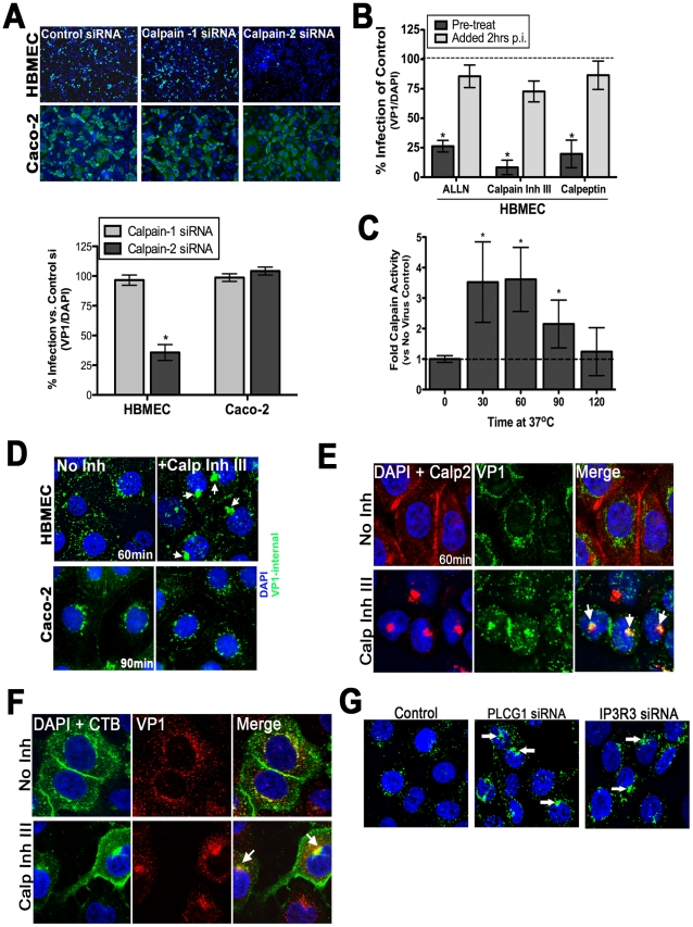 Calpain-2 is required for vesicular trafficking of internalized CVB. ( A ) Top: Representative images of HBMEC and Caco-2 monolayers transfected with control, calpain-1, or calpain-2 siRNAs and infected with CVB (MOI = 1) for 14 hrs (HBMEC) or 7 hrs (Caco-2). VP1 in green and DAPI-stained nuclei in blue. Bottom: Effect of calpain-1 or calpain-2 siRNA transfection on CVB infection of HBMEC (left) or Caco-2 (right) cells. Shown are the percentage of infected cells (normalized to DAPI-stained nuclei) normalized control siRNA-transfected cells ( B ) HBMEC monolayers were treated with the indicated calpain inhibitors and infected with CVB (MOI = 1) for 14 hrs. Inhibitor was added to cultures 1 hr before infection (pre-treat) or 2 hrs p.i. Dashed line indicates the infection level of control cells. ( C ) Calpain activity was measured in HBMEC infected with CVB (50 PFU/cell) for the indicated times. Dashed line indicates calpain activity in control (no virus) cells. ( D ) Immunofluorescence microscopy in HBMEC (top) and Caco-2 (bottom) exposed to CVB (MOI = 50) for 60 min and treated with DMSO (no inhibitor) or calpain inhibitor III. Green staining represents internalized virus. White arrows denote enlarged virus-contained vesicles in calpain inhibitor III-treated cells. ( E ) Immunofluorescence microscopy in HBMEC exposed to CVB (MOI = 50) for 60 min and treated with either control (No Inh) or with calpain inhibitor III. VP1 (green), calpain-2 (red), and DAPI (blue). White arrows denote enlarged virus-containing vesicles in calpain inhibitor III-treated cells that colocalize with calpain-2. ( F ) Immunofluorescence microscopy in HBMEC exposed to CVB (MOI = 50) and Alexa Fluor-488 conjugated cholera toxin B (CTB) for 60 min and treated with either control (No Inh) or with calpain inhibitor III. CTB (green), VP1 (red), and DAPI (blue). White arrows denote enlarged CTB and virus-containing vesicles in calpain inhibitor III-treated cells that colocalize with calpain-2. ( G ) 
