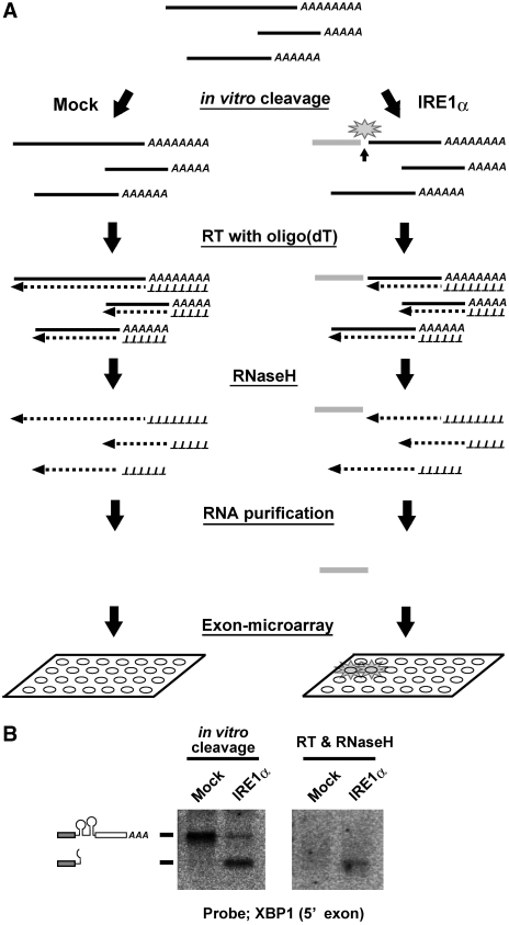 Scheme of the screening approach used to identify cleavage targets of IRE1α. ( A ) Schematic representation of the screening procedure. Cellular RNAs were subjected to in vitro cleavage by the cytoplasmic domain of human IRE1α, or by GFP as a mock treatment. Then the RNAs were reverse transcribed with oligo-dT primers and treated with RNase H. The resulting RNA fragments, corresponding to the 5′ sides of the cleaved RNAs (represented by the gray bar in the figure), were purified and used as probes in the exon microarray analysis. ( B ) Efficient cleavage and production of a probe fragment in the case of the XBP1 mRNA. Left panel: total RNA (5 µg) was incubated with IRE1α or GFP and analyzed by northern blotting with a probe specific for the 5′ fragment of the XBP1 mRNA. Right panel: the RNA samples, as described for the left panel, were reverse transcribed and treated with RNaseH before blotting.
