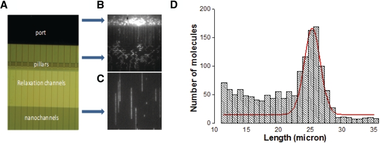 Image of the nano-channel array in a chip that has been used for the linearization of DNA. ( A ) Different regions of a nano-channel device. ( B ) Image showing the translocation of DNA through different areas (microstructure and nano-channel) of the chip. ( C ) Image of the relaxed and linearized DNA molecules inside nano-channel array. ( D ) Size distribution of BAC 3F5 DNA molecules inside nano-channel array.