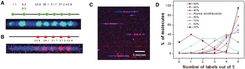 Image of Fosmid G248P8446G6 DNA in nano-channel (60 nm × 100 nm). The DNA was nicked with Nb.BbvCI and the free 3′ end is extended by Vent (exo-) in presence of a mixture of three unlabeled nucleotides (dAGC) and Alexa-546 labeled dUTP ( Figure 3 A) or a mixture of four unlabeled nucleotides (dNTP) ( Figure 3 B). The DNA backbone was stained with intercalated dye YOYO-1 iodide. ( A ) Eight nicked sites were thus labeled with Alexa 546 (green). Two nicking sites at ∼9.3 and ∼9.5 kb were too close to resolve optically. The DNA backbone is indicated as a blue line. The positions of the labeled dyes match well with the predicted nicking positions on the backbone. ( B ) The generated single strand flaps (by nick translation in presence of dNTP mixtures) were hybridized with dye labeled probe of sequences Cy3-TGCCTGTGAGAGG-AAATCTCAACTCTCTT-Cy3. Five out of the eight single strand flaps contain the complement of the probe sequence and thus get hybridized. (B) shows five labels (red) along with the blue backbone. All these positions match well with the predicted ones ( 6 ). ( C ) Image shows several full length flap labeled Fosmid molecules inside a nano-channel array. ( D ) The prediction of labeling efficiency of one site in a DNA molecule with maximum five labeling sites available in it. The lines show the changes in the number distribution of 1, 2, 3, 4 and 5 labeled molecules with change in labeling efficiencies (30, 50, 75, 85, 90, 95 and 98%). The gray line is the distribution of number of molecules that were experimentally obtained from the flap labeled (five sites) Fosmid G248P8446G6. This line shows its labeling efficiency ∼85–90%. The imaging procedure is described in the 'Material and Methods' section.