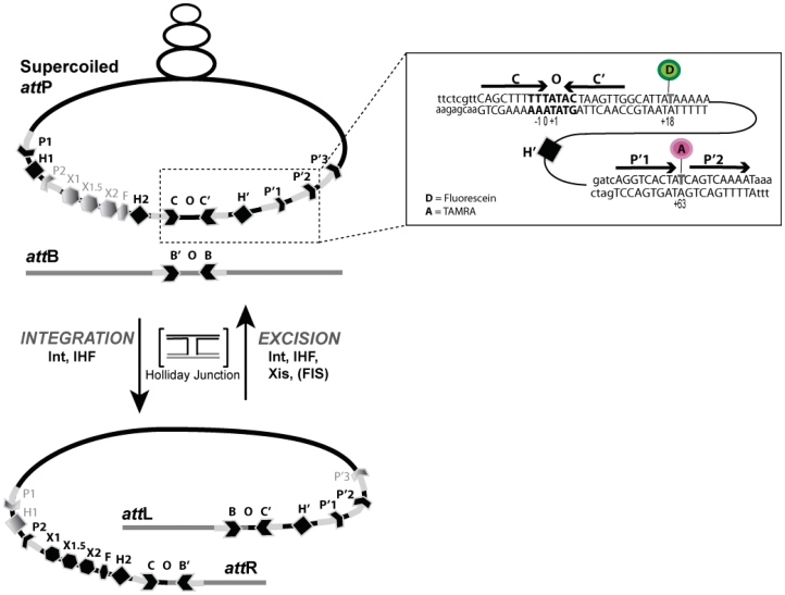 Schematic summary of integrative and excisive site-specific recombination. Integrative recombination between supercoiled att P and linear att B requires virally-encoded Integrase (Int) and the host-encoded accessory DNA-bending protein (IHF) and gives rise to att L and att R products. The excisive recombination between att L and att R requires the accessory DNA-bending protein Xis and is stimulated by Fis. Both reactions proceed via two pairs of sequential strand exchanges that first generate, and then resolve, a Holliday junction recombination intermediate (HJ). The four core-type Int binding sites (C, C′, B and B′; inward-facing thick arrow heads) flanking the seven bp overlap region are bound by the CB and catalytic domains of Int and form a tetrameric complex in the HJ intermediate. The arm-type Int binding sites are differentially occupied (dark thin arrow heads) by the N-domain of Int during integrative (P1, P′1, P′2 and P′3) and excisive (P2, P′1 and P′2) reactions. The IHF binding sites are differentially occupied (dark diamonds) during integrative (H1, H2 and H′) and excisive (H2 and H′) reactions. The Xis binding sites (X1, X1.5 and X2; dark hexagons) and the Fis binding site (F; dark polygon) are occupied only during the excisive reaction. (Inset) Numbering of the donor Fluorescein-labeled T (+18, D), and the acceptor, TAMRA-labeled T (+63; A) is according to previous work, where the third base pair (T) in the overlap region (bold letters) has been assigned zero and bases to its left and right are assigned negative and positive numbers, respectively ( 22 ).