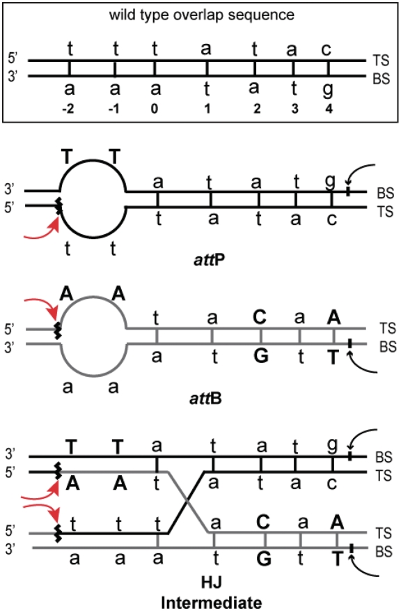 Overlap regions of the att P and att B sites showing the bubble–heterology sequences used to trap Holliday junction recombination intermediates. The altered base pairs of the 7-bp overlap region are indicated in bold upper case letters, the Int cleavage sites flanking each overlap region are indicated by curved arrows, and the strands conventionally referred to as the top- and bottom-strands are labeled TS and BS, respectively; numbering is the same as in Figure 1 . To highlight the salient features of these sites, three modifications to the conventional depictions have been made: (a) the two att sites are aligned in a parallel rather than antiparallel orientation; (b) the att P site is drawn with the 'top strand' (TS) on the bottom; and (c) as a result of the parallel alignment of the att sites, the exchanged strands in the Holliday junction (HJ) are crossed. Following the first pair of Int cleavages the top strands are swapped to form the Holliday junction, simultaneously converting the unpaired (bubble) bases to the more stable duplex DNA. The second pair of Int cleavages on the bottom strands that would normally resolve the Holliday junction to recombinant products (attL and attR) is strongly disfavored because the sequence differences between the two overlap regions would generate unpaired bubbles in both att L and att R after strand exchange. The resulting Holliday intermediate is thus stabilized with respect to both the reverse and forward reaction products.