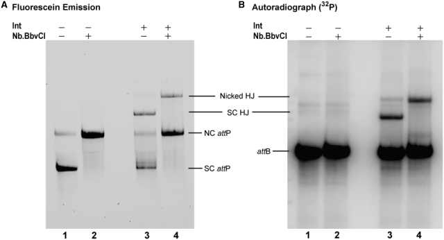 Trapping a dye-labeled supercoiled Holliday junction recombination intermediate and its relaxation by site-specific nicking with the restriction enzyme Nb.BbvCI. Recombination reactions with the HJ-trapping att sites diagramed in Figure 4 were carried out with dye-labeled supercoiled att P and linear 32 P-labeled att B, and analyzed by agarose gel electrophoresis, as described in 'Materials and Methods' section. ( A ) Visualization of the gel by 488-nm excitation of fluorescein in att P. ( B ) Visualization of the gel by autoradiography of the 32 P-radiolabel in att B. Recombination reactions, without (lanes 1 and 2), or with (lanes 3 and 4), Int were incubated for 1 h, after which MgCl 2 (10 mM final) and the nicking enzyme, Nb.BbvCI were added to reactions 2 and 4, and all four reactions were incubated for an additional hour before loading onto a native agarose gel. No full recombination product is formed under these conditions. In control reactions with canonical att sites, the nicking enzyme does not alter the mobility of the full linear recombination product (data not shown).
