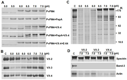 Reactivity of rVX-4 against macromolecular substrates. ( A ) Processing of P. vivax plasmepsin 4 (PvPM4) by rVX-4. Recombinant PvPM 4 (20 µg) was incubated with rVX-4 (50 nM) supplemented with 10 mM DTT at different pH values with or without pepstatin A (10 µM) or E-64 (1 µM) for 3 h at 37°C. The reactants were analyzed by 12% SDS-PAGE. ( B ) Comparison of hemoglobinolytic activity of VX-2, VX-3 and VX-4. Native human hemoglobin was incubated with the respective enzymes in appropriate buffers (pH ranges 5.0–7.5) supplemented with 1 mM GSH for 3 h at 37°C, after which resolved by 10% SDS-PAGE. ( C ) Hydrolysis of erythrocyte membrane proteins by rVX-4 at different pHs. Fresh erythrocyte ghosts were incubated with rVX-4 in appropriate buffers (pHs 5.0–7.5) for 3 h at 37°C and reaction products were analyzed by 10% SDS-PAGE. Molecular masses in kDa are shown to the right. ( D ) Western blotting of erythrocyte ghost proteins. The reactions were done at pH 7 and 7.5. The reactants were separated by 10% SDS-PAGE, transferred to a PVDF membrane and probed with specific antibodies against human erythrocyte spectrin (1∶500), band 3 (1∶30000) and actin (1∶1000) followed by horseradish peroxidase conjugated anti-human IgG (1∶1000). The blots were developed with 4C1N. C, control without enzyme.