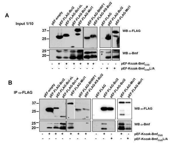 Bmf S and Bmf CUG show the same interaction pattern with anti-apoptotic Bcl-2 family members (A) Bmf S and Bmf CUG were overexpressed simultaneously in 293T cells together with FLAG-tagged versions of Bcl-2, Bcl-xL, Bcl-w, Mcl-1, BHRF1 or KS-Bcl2. Expression of transgene-derived protein was confirmed by immunoblotting using anti-FLAG- or anti-Bmf-specific mAbs (# = marker labeling). (B) Immunoprecipitation was performed using anti-FLAG-M2 mAb. Immune complexes were separated by <t>SDS-PAGE</t> on 4-20% <t>Tris-glycine</t> gels. After electroblotting, nitrocellulose membranes were subjected to immunoblotting using the anti-Bmf mAb (17A9). Membranes were stripped and reprobed with a rat-anti-FLAG antibody. One out of three independent experiments yielding similar results is shown. (* short exposure, ** long exposure)
