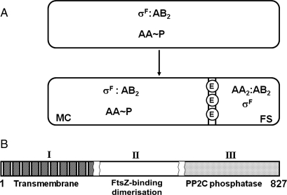 Asymmetric cell division and the role of SpoIIE. ( A ) In the pre-divisional cell (upper) and the mother cell (MC) following cell division (lower), SpoIIAA (AA) is phosphorylated and σ F is in a complex with SpoIIAB (AB 2 ). In the forespore (FS), σ F is free and AA and AB are in complex. SpoIIE (E) accumulates at the asymmetric septum, a double membrane structure. ( B ) The putative three domain structure of SpoIIE. The limits of the putative FtsZ-binding domain are uncertain.