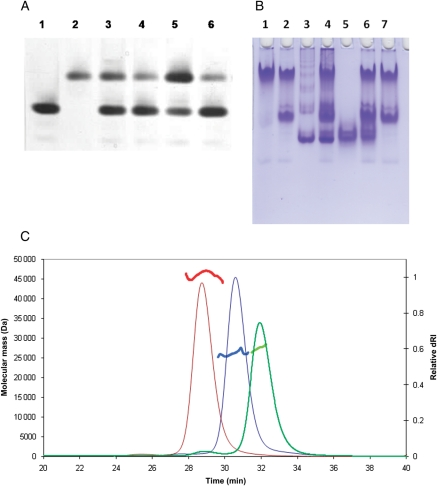 Assays of SpoIIE fragments. ( A ) SpoIIAA-phosphate dephosphorylation by the H1 and B1′ fragments monitored by native gel electrophoresis. Lane 1, SpoIIAA∼P (5 μg); lane 2, SpoIIAA (5 μg); lanes 3 and 4, SpoIIAA∼P (5 μg) incubated in the presence of the H1 fragment at 100:1 and 400:1 molar ratios, respectively; lanes 5 and 6, SpoIIAA∼P (5 μg) incubated in the presence of the B1′ fragment at 100:1 and 400:1 molar ratios, respectively. The conversion of SpoIIAA∼P to the lower mobility SpoIIAA species upon incubation with the SpoIIE fragments is evident. ( B ) Gel mobility shift assay of FtsZ binding by the H1 and B1′ fragments. Lane 1, FtsZ (7 μg); lane 2, FtsZ (7 μg) + 1 mM GTP; lane 3, SpoIIE H1 fragment (7 μg); lane 4, FtsZ (7 μg) + SpoIIE H1 (7 μg) + 1 mM GTP; lane 5, SpoIIE B1′ fragment (7 μg); lane 6, FtsZ (7 μg) + SpoIIE B1′ (7 μg) + 1 mM GTP; lane 7, FtsZ (7 μg) + 1mM GTP. There is no mobility shift evident from these gels other than the additional staining of material at the top of lane 4. ( C ) SEC-MALLS traces of the molecular mass and differential refractive index (dRI) versus time, of the eluate from a Superdex S200 column. The bold lines give molecular mass of the eluting species calculated from measurements of the refractive index and the multi-angle laser light scattering. Three traces for the (i) H1 (red), (ii) B1′ (green) and (iii) B2–B1 (blue) fragments are overlaid.