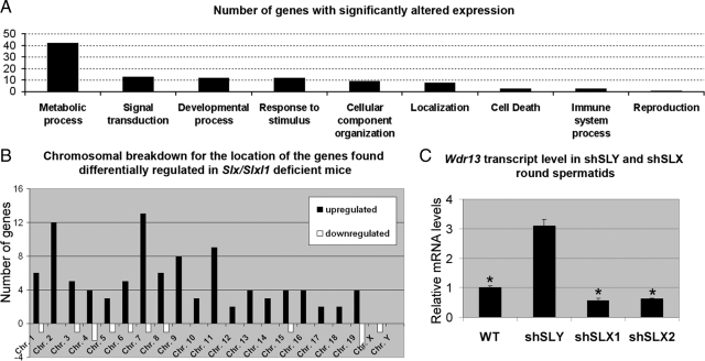 Transcriptome analysis of Slx/Slxl1 -deficient round spermatids versus WT round spermatids. (A) Bar graph representing the number of genes found differentially expressed in round spermatids from Slx/Slxl1 -deficient males compared with those of WT males by microarray. Differentially expressed genes are shown by classification according to their likely biological function in Onto-Express. (B) Chromosome location of the genes found up- or down-regulated in case of Slx/Slxl1 deficiency. Note the enrichment of up-regulated genes on chromosome 7. This is due to the presence of the Klk1 genes that are affected by the loss of Slx/Slxl1 . (C) Quantification of the transcript level of the X-encoded Wdr13 gene in purified round spermatids of shSLY, SLX1, shSLX2, and WT males by real-time RT-PCR. Values were normalized to β- actin . One star indicates significant difference from WT value ( p