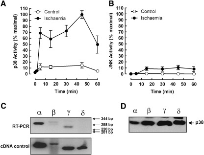 Time course of SAPK activation during cardiac ischaemia. Freshly isolated perfused rat hearts were subjected to global ischaemia for the times indicated, extracted and assayed for p38 (A) or JNK (B) activity by immune-complex kinase assay. The range of p38 isoforms expressed in the normal adult rat heart was determined by RT-PCR analysis with isoform-specific primers using tissue from unstimulated hearts (C; upper panel). cDNAs for p38α, β, γ and δ were used as positive controls (lower panel). The isoform specificity of the p38 antibody used in immune-complex kinase assays was determined by immunoprecipitation from cell lysates containing epitope-tagged forms of p38α, β, γ and δ, followed by SDS–PAGE and western blotting with anti-Flag antibody (D).