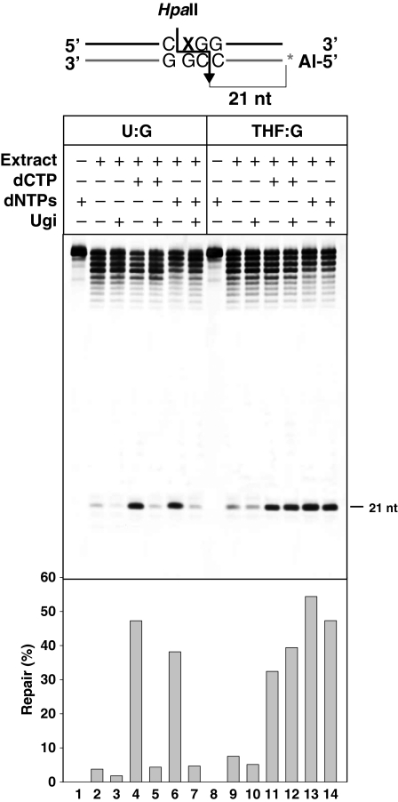 Uracil repair by Arabidopsis cell extracts is dependent on uracil DNA glycosylase (UDG) activity. DNA duplexes containing either U or THF opposite G were incubated with Arabidopsis cell extracts at 30°C for 3 h in a reaction mixture containing either dCTP or all four dNTPs, both in the absence or presence of 2 U of uracil-DNA glycosylase inhibitor (Ugi). Reaction products were digested with Hpa II, separated in a 12% denaturing polyacrylamide gel and quantified by fluorescence scanning. The percentage of fully repaired DNA product is shown in the bottom panel.
