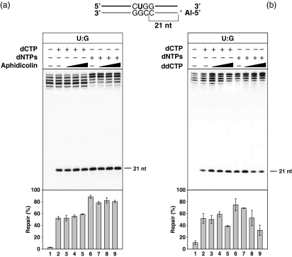 Effects of <t>DNA</t> polymerase inhibitors on uracil excision repair by Arabidopsis cell extracts. Duplex DNA containing U opposite G at a <t>Hpa</t> II site was incubated at 30°C for 3 h with Arabidopsis cell extract in a reaction mixture containing either dCTP or all four dNTPs, as indicated, and increasing levels of aphidicolin (left panel: 0, 300, 600 or 1200 μ m ) or 2′,3′-dideoxycytidine 5′-triphosphate (ddCTP, right panel: 0, 20, 200 or 2000 μ m ). Reaction products were digested with Hpa II, separated in a 12% denaturing polyacrylamide gel and quantified by fluorescence scanning. The percentage of fully repaired DNA product is shown. Values are means with standard errors from two independent experiments.