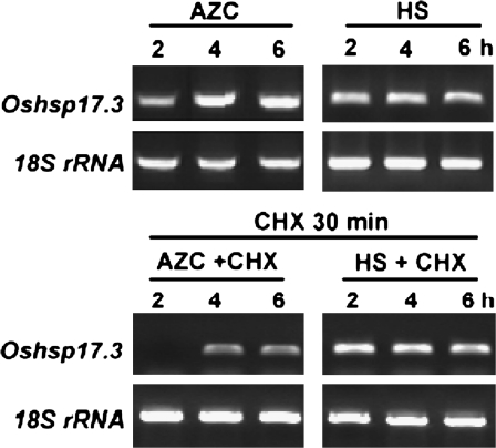 Effect of a protein synthesis inhibitor on accumulation of Oshsp17.3 transcript induced by AZC and HS. Before 5 mM AZC or HS (41°C) treatment, 3-d-old rice seedlings were treated or not with cycloheximide (CHX) (2 μg ml −1 ) for 30 min at 28 C. A 16 ng aliquot of DNase I-treated total <t>RNA</t> was used for RT-PCR. The RT-PCR products of Oshsp17.3 are shown by ethidium bromide staining, and the RT-PCR product of the 18S rRNA was used as an internal PCR control.