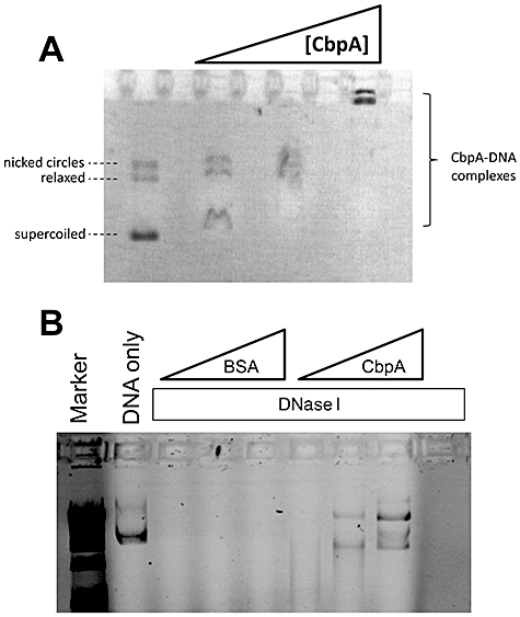 CbpA protects plasmid DNA from degradation by nucleases. A. The panel shows naked plasmid and complexes with CbpA run on a 1% agarose gel. Plasmid (30 ng) was pre-incubated with 0, 0.5, 1.0, or 2.0 µM CbpA. Note that only every other lane has been loaded on the gel. B. The panel shows plasmid run on a 1% agarose gel. Plasmids (77 ng) were treated with different combinations of DNase I, BSA (1, 2 or 3 µM) and CbpA (1, 2 or 3 µM).