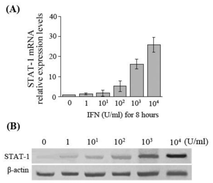 STAT-1 expression in HepG2.2.15 cells after IFN-α stimulation. ( A ) Detection of STAT-1 mRNA by real-time fluorescent quantitative RT-PCR after HepG2.2.15 cells were treated with various concentrations of IFN-α; ( B ) Detection of STAT-1 protein by Western-blot after HepG2.2.15 cells were treated with various concentrations of IFN-α for 8 hours.