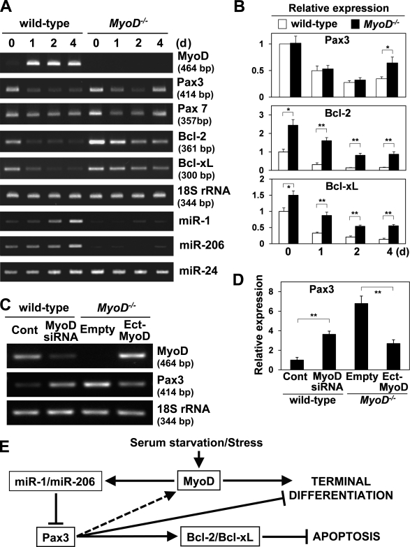 Pax3 expression is down-regulated during satellite cell activation. (A) MyoD, Pax3, Pax7, Bcl-2, Bcl-xL, miR-1, and miR-206 gene expression were compared between freshly isolated (day 0) and cultured satellite cells (days 1, 2, and 4) derived from wild-type and MyoD −/− mice by RT-PCR. 18S rRNA and miR-24 were monitored as loading controls. For miRNAs, all PCR products are ∼90-bp long. (B) Relative Pax3, Bcl-2, and Bcl-xL gene expression levels shown in A normalized by 18S rRNA expression were measured. (C) MyoD and Pax3 gene expression were compared between wild-type satellite cells transfected with siRNA for MyoD and a control siRNA (Cont) or MyoD −/− satellite cells infected with a lentivirus vector expressing MyoD (Ect-MyoD) and a control empty vector by RT-PCR. (D) Relative Pax3 gene expression shown in C normalized by 18S rRNA expression was measured. (E) The model for apoptotic cascade regulated by MyoD. MyoD is a master regulator for muscle differentiation. Under differentiation or stressful conditions, MyoD transcriptionally activates miR-1 and miR-206 gene expression, which suppresses Pax3 expression. Down-regulation of Pax3 results in down-regulation of Bcl-2 and Bcl-xL, which causes apoptosis. In addition, down-regulation of Pax3 by MyoD also induces muscle differentiation. *, P