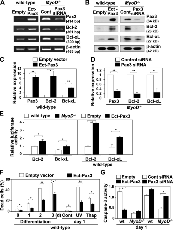 Pax3 positively regulates Bcl-2 and Bcl-xL expression. (A) Pax3, Bcl-2, and Bcl-xL gene expression were compared between wild-type myoblasts infected with a retrovirus vector expressing Pax3 (Ect-Pax3) and a control empty vector or MyoD −/− myoblasts transfected with siRNA for Pax3 and a control siRNA (Cont) by RT-PCR. (B) Pax3, Bcl-2, and Bcl-xL protein expression were compared between wild-type myoblasts infected with a retrovirus vector expressing Pax3 and a control empty vector or MyoD −/− myoblasts transfected with siRNA for Pax3 and a control siRNA by Western blotting. (A and B) β-Actin was monitored as a loading control. (C and D) Relative Pax3, Bcl-2, and Bcl-xL protein expression levels shown in B normalized by β-actin expression were compared by Western blotting. (E) Luc activity was assessed after transfection with Bcl-2– or Bcl-xL–Luc reporter genes into wild-type or MyoD −/− myoblasts. Luc activity was also assessed after transfection with Bcl-2– or Bcl-xL–Luc reporter genes and the Pax3 expression vector or control empty vector into wild-type myoblasts. (F) Under differentiation conditions from day 0 to 3 or after UV exposure or treatment with thapsigargin (Thap) for 1 d, cell death was compared between wild-type myoblasts infected with a retrovirus vector expressing Pax3 and a control empty vector. (G) After UV exposure or treatment with thapsigargin for 1 d, caspase-3 activity was compared between wild-type and MyoD −/− myoblasts infected with a retrovirus vector expressing Pax3 and a control empty vector or transfected with siRNA for Pax3 and a control siRNA. *, P
