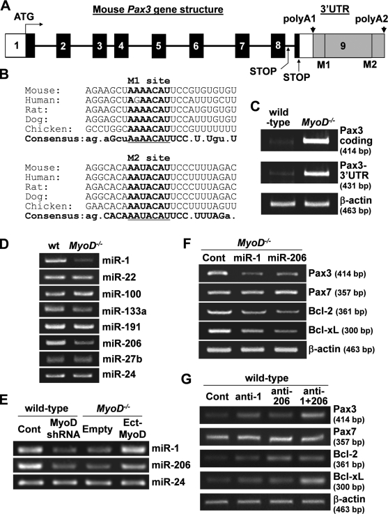 Pax3-3′UTR contains conserved miR-1/miR-206–binding sites. (A) Mouse Pax3 gene structure. Numbered boxes denote each exon. White boxes denote the 5′UTR and the shorter 3′UTR. Black boxes denote coding regions. The gray box denotes the longer 3′UTR containing two putative miR-1/miR-206–binding sites (M1 and M2). There are two stop codons and two polyA signal sequences (polyA1 and polyA2) in the mouse Pax3 gene. (B) Sequences of two putative miR-1/miR-206–binding sites (M1 and M2) and their flanking regions. Core sequences for miR-1/miR-206 and consensus sequences are denoted by bold letters. (C) Similar levels of expression of the Pax3 coding region and the longer 3′UTR were detected in MyoD −/− myoblasts by RT-PCR. β-Actin was monitored as a loading control. (D) MyoD-regulated miRNA expression levels were compared between wild-type (wt) and MyoD −/− myoblasts by RT-PCR. miR-24 was monitored as a loading control. (E) miR-1 and -206 expression were compared between wild-type myoblasts infected with a lentivirus vector expressing shRNA for MyoD and control shRNA (Cont) vector or MyoD −/− myoblasts infected with a lentivirus vector expressing MyoD (Ect-MyoD) and a control empty vector by RT-PCR. miR-24 was monitored as a loading control. (F) Pax3, Pax7, Bcl-2, and Bcl-xL gene expression were compared between MyoD −/− myoblasts transfected with pre–miR-1, pre–miR-206, and the control pre-miRNA by RT-PCR. β-Actin was monitored as a loading control. (G) Pax3, Pax7, Bcl-2, and Bcl-xL gene expression were compared between wild-type myoblasts transfected with anti–miR-1 (anti-1), anti–miR-206 (anti-206), anti–miR-1 + anti–miR-206 (anti-1 + 206), and the control RNA by RT-PCR. β-Actin was monitored as a loading control. (D and E) All PCR products are ∼90-bp long.