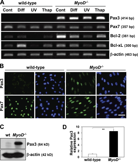 MyoD −/− myoblasts up-regulate Pax3 expression. (A) Under growth conditions (control [Cont]), differentiation conditions (Diff), UV exposure, or treatment with thapsigargin (Thap), Pax3, Pax7, Bcl-2, and Bcl-xL gene expression were compared between wild-type and MyoD −/− myoblasts by RT-PCR. (B) Pax3 and Pax7 expression were compared between wild-type and MyoD −/− myoblasts by immunostaining (green). Nuclei were counterstained with DAPI (blue). Bar, 40 µm. (C) Pax3 protein expression was compared between wild-type (wt) and MyoD −/− myoblasts by Western blotting. (D) Relative Pax3 expression levels normalized by β-actin expression shown in C were measured. (A and C) β-Actin was monitored as a loading control. **, P